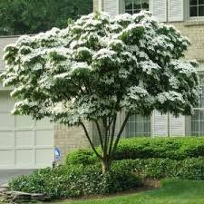 Cornus kousa koreakornel garden pinterest buske og tr er for Alberelli fioriti da giardino