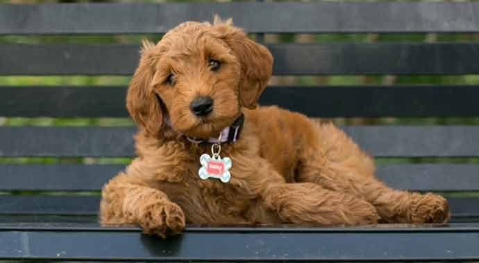 Goldendoodle Puppies In Michigan By Adorable Doodles