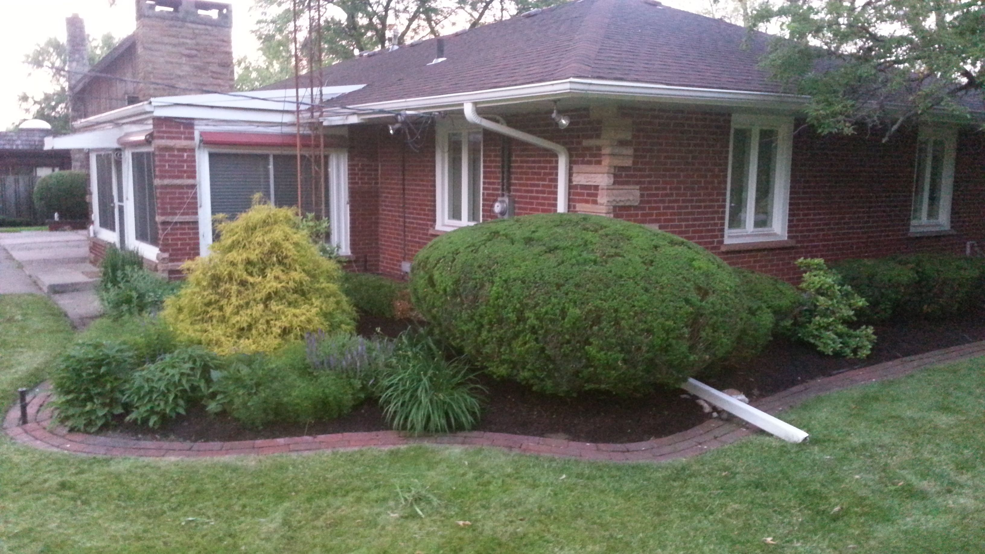Mops Gold False Cypress growing into its conical natural ... on Backyard Landscape Designers Near Me  id=21062