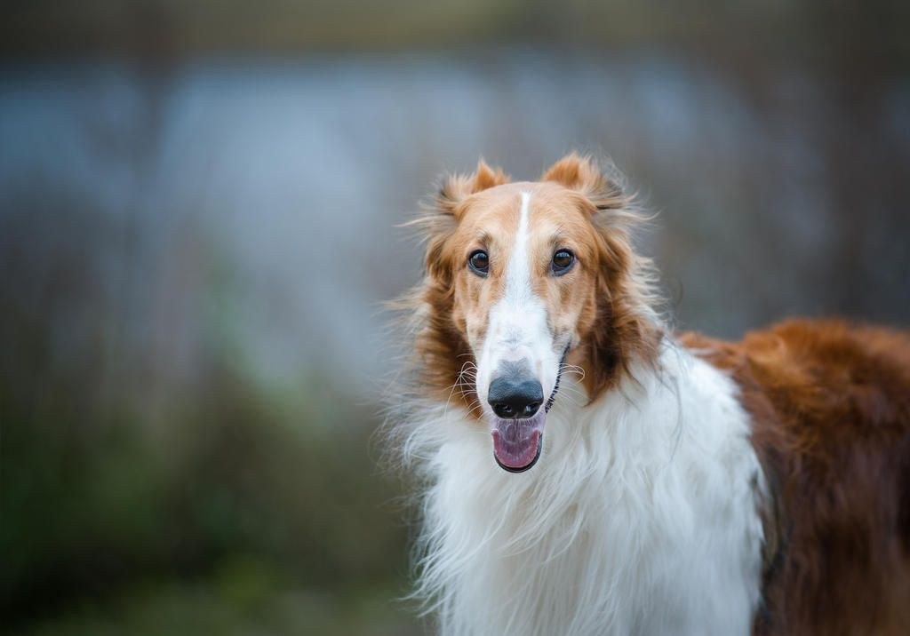 Image result for borzoi puppies uk
