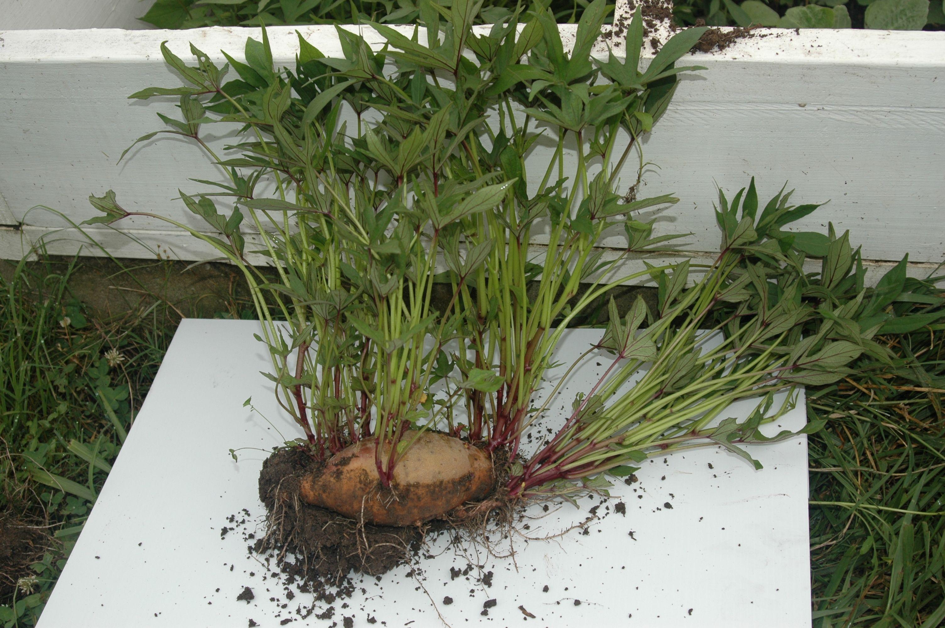 Grow your own sweet potato slips sweet potato plant