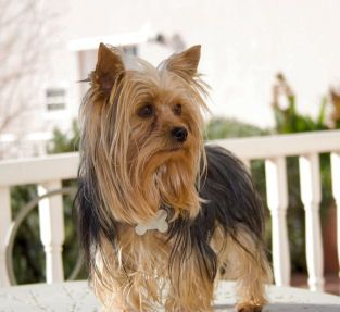 Akc Parti Yorkies For Sale Yorkie Puppies For Sale In Utah With Images Yorkie Puppy For Sale Yorkie Puppy Yorkie
