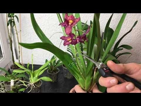 Wie bekomme ich meine Orchidee zum Blühen