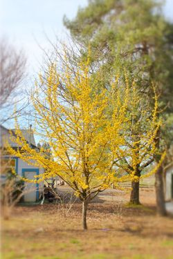 Cornelian Cherry Dogwood. Beautiful early yellow flowers