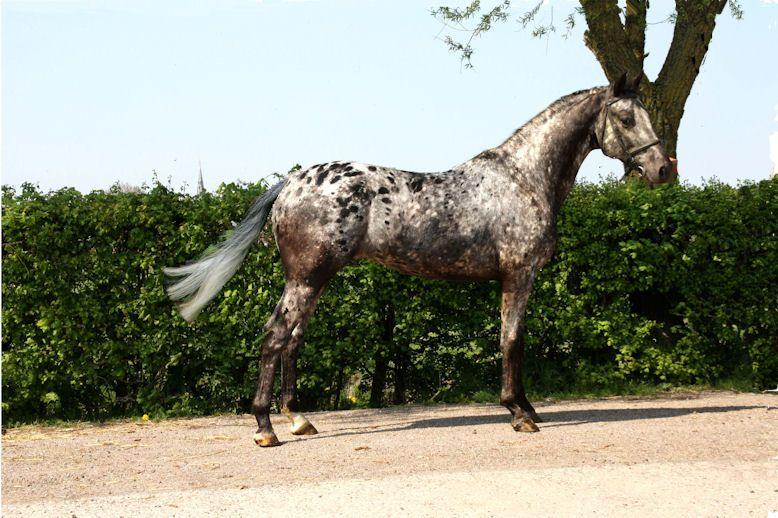 axiomas casanova nas stallion what would you call this