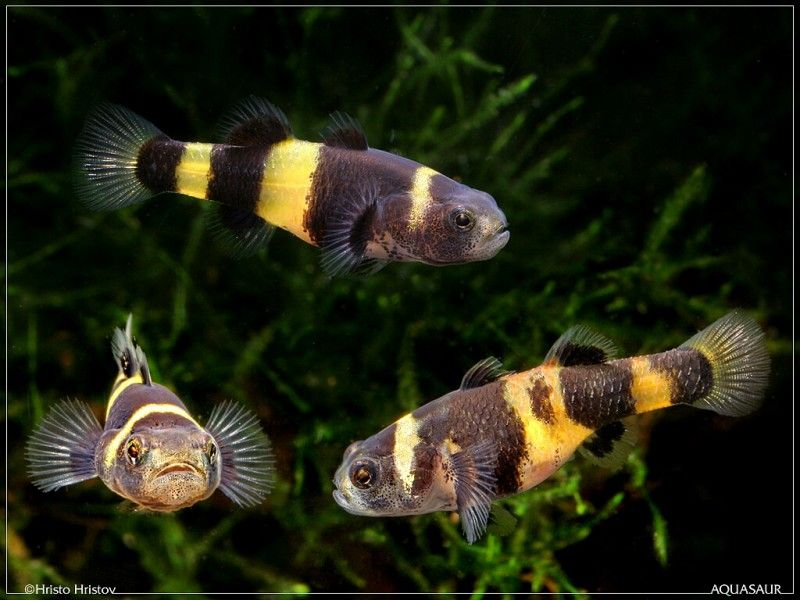 South American Bumblebee Catfish Profil Information Goodmorning Most Beautiful Butterfly Beautiful Butterflies Unique Animals