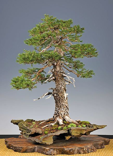 Bonsaiu2026 Gallery of Walter Pall #European #spruce wwwroanokemyhome - european resume template