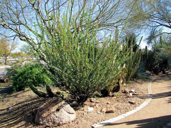 mexican tree ocotillo fouquieria