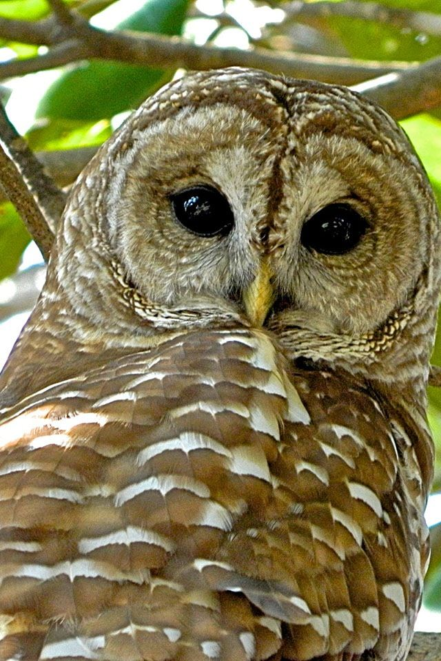 What did u say my name Barred owl, Owl facts, Owl