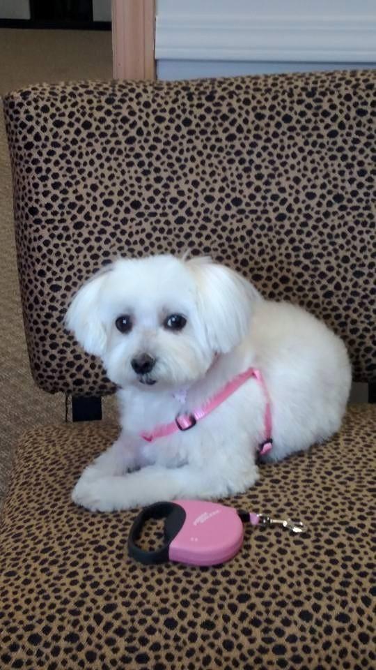 Princess Maltese Dogs Dogs Animals