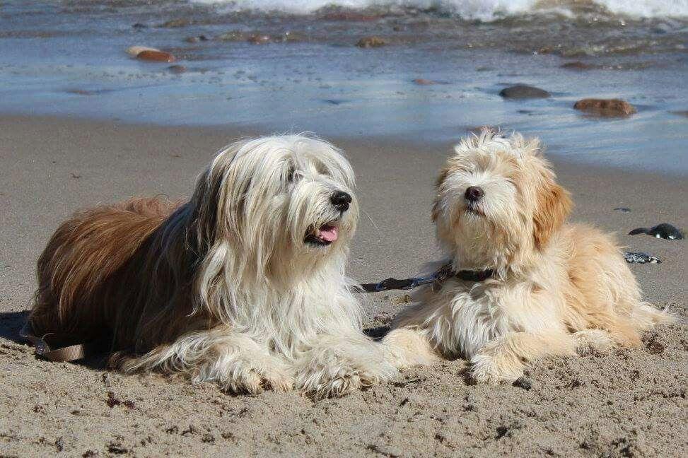 Tibetan Terriers (With images) Tibetan terrier, Terrier
