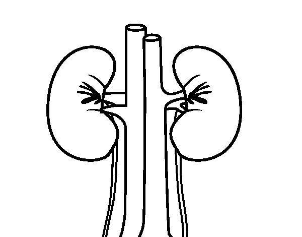 desenho de rins humano para colorir