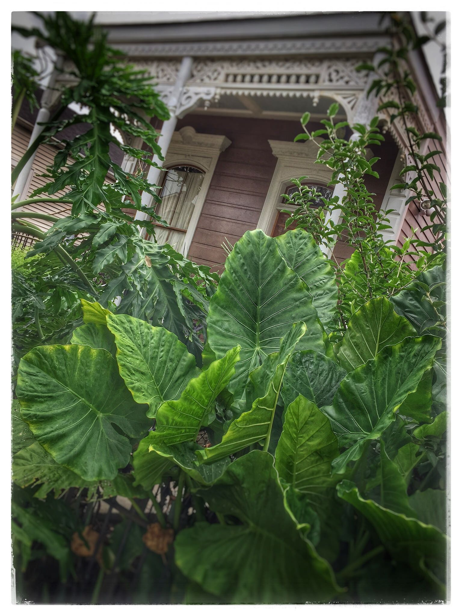 Elephant Ears Plants Ve ation Garden District New Orleans