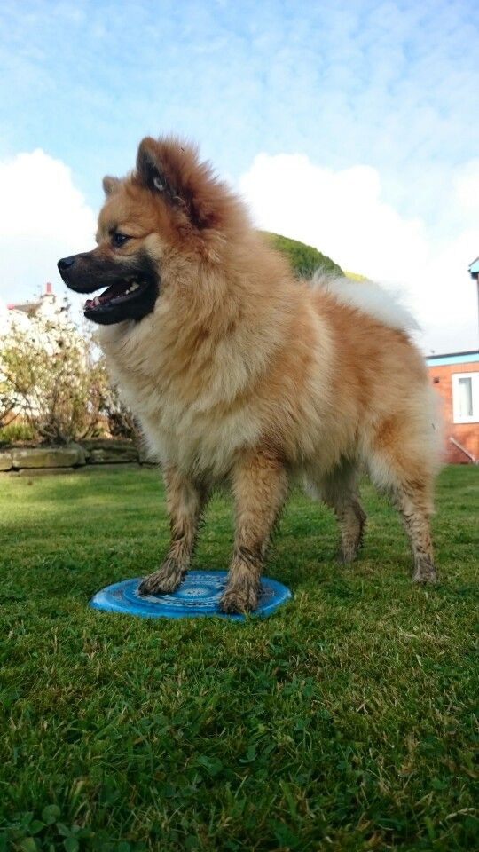 giant pomeranian list of synonyms and antonyms of the word large pomeranian 2077