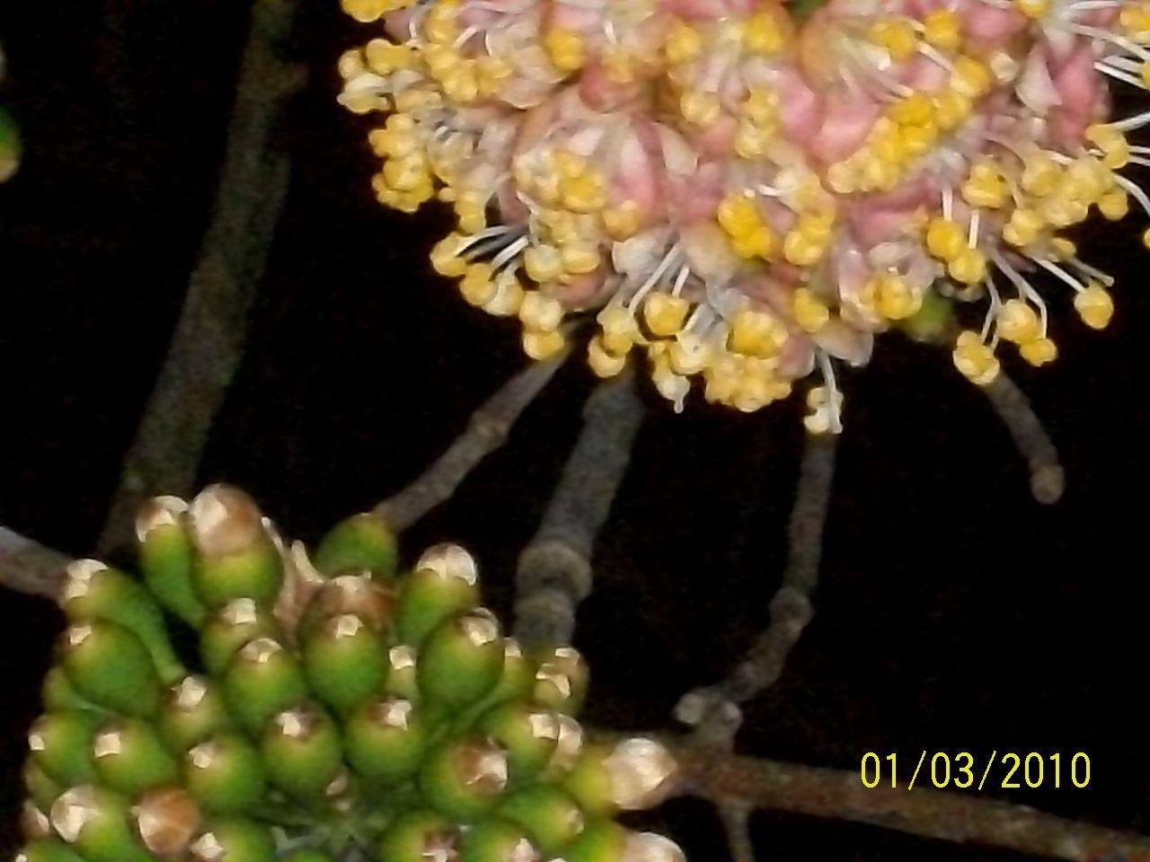 La Ceiba en una de sus etapas.PUERTO RICO