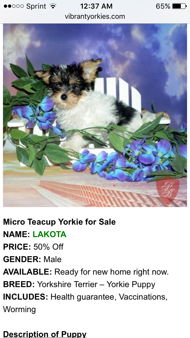 Pin by Sunset City on Puppies for sale Yorkie puppy