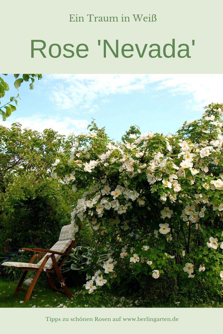 Die Empfehlenswerte Rose Schlechthin Ist Die Strauchrose Nevada