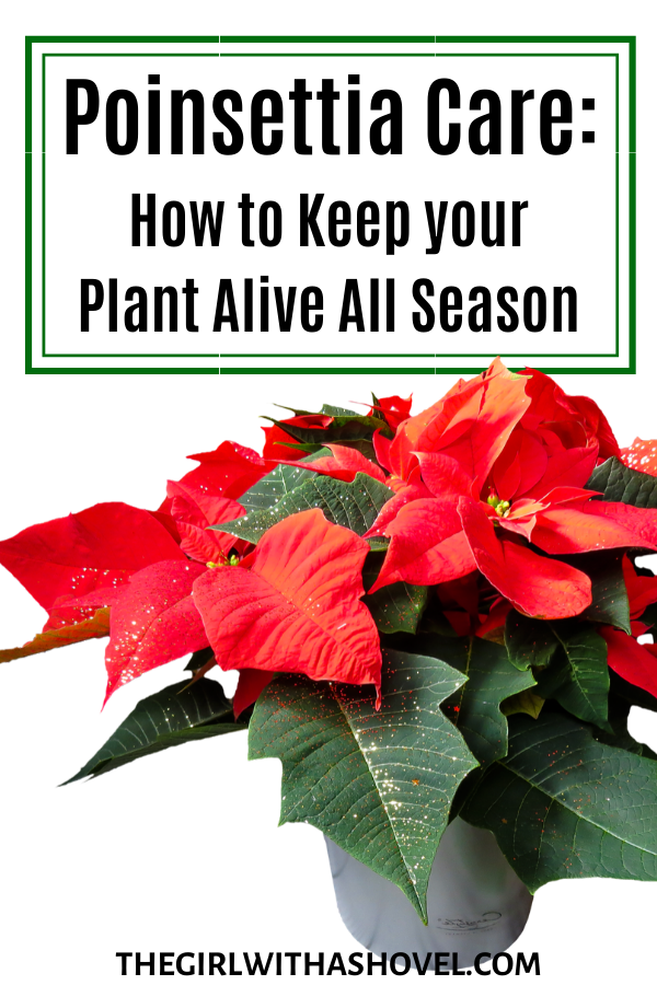Poinsettia Care For The Entire Christmas Season Poinsettia Care Poinsettia Plant Plants