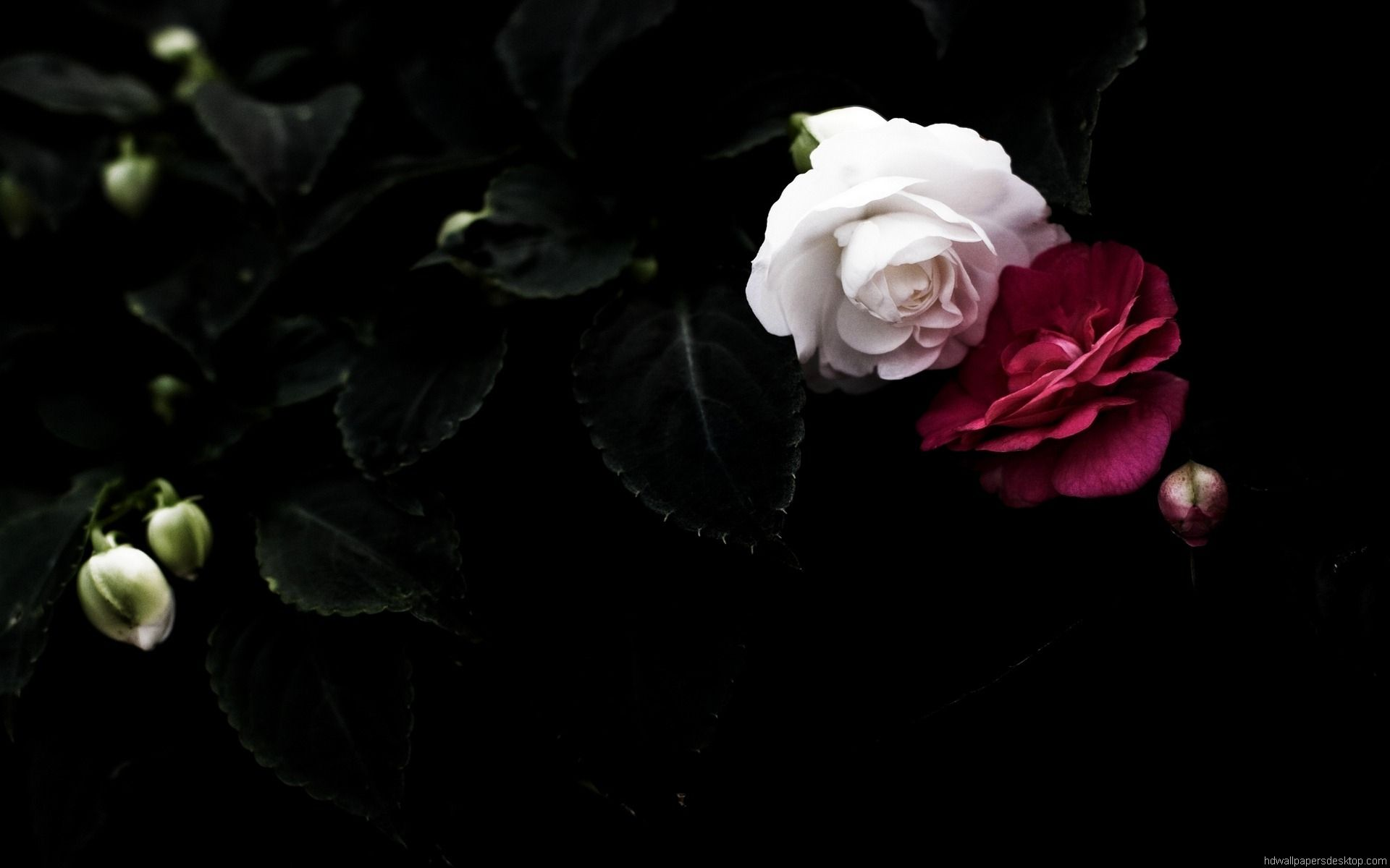 Black White Red Flower Background Wallpaper Black Rose Flower