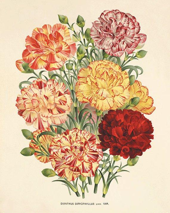 Carnation Antique Flower Art Print Vintage Botanical Prints Etsy Botanical Art Prints Antique Botanical Print Flower Prints Art