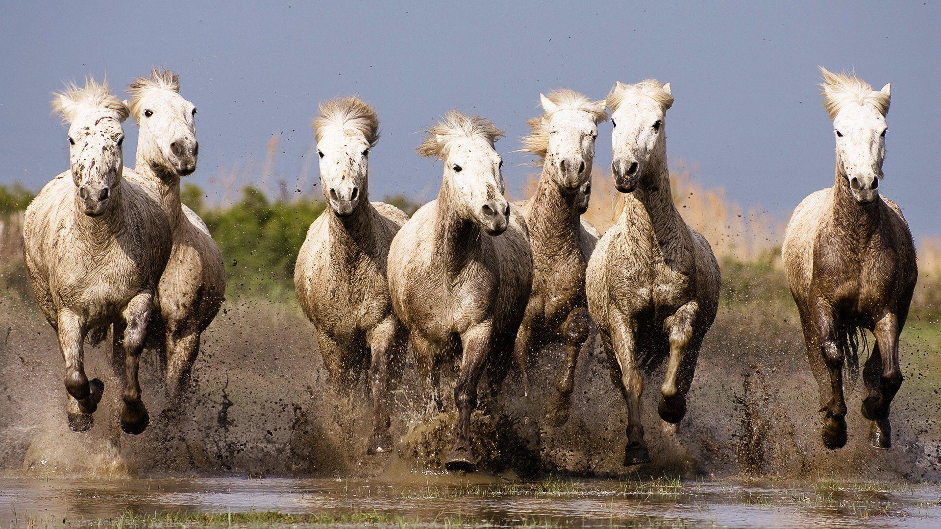 Image Result For Running White Horse Hd Wallpaper Running Horse