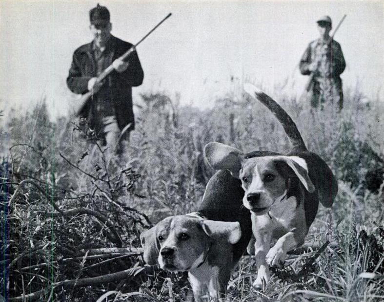 Beagle hunting - photo#42
