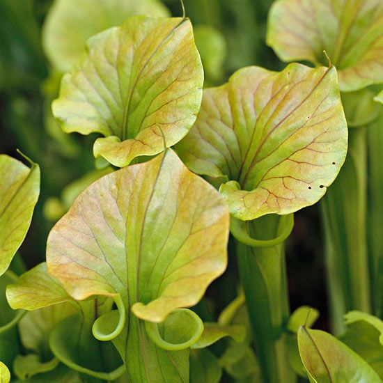 The Best Plants For Your Water Garden Pitcher Plant Plants Water Garden Plants