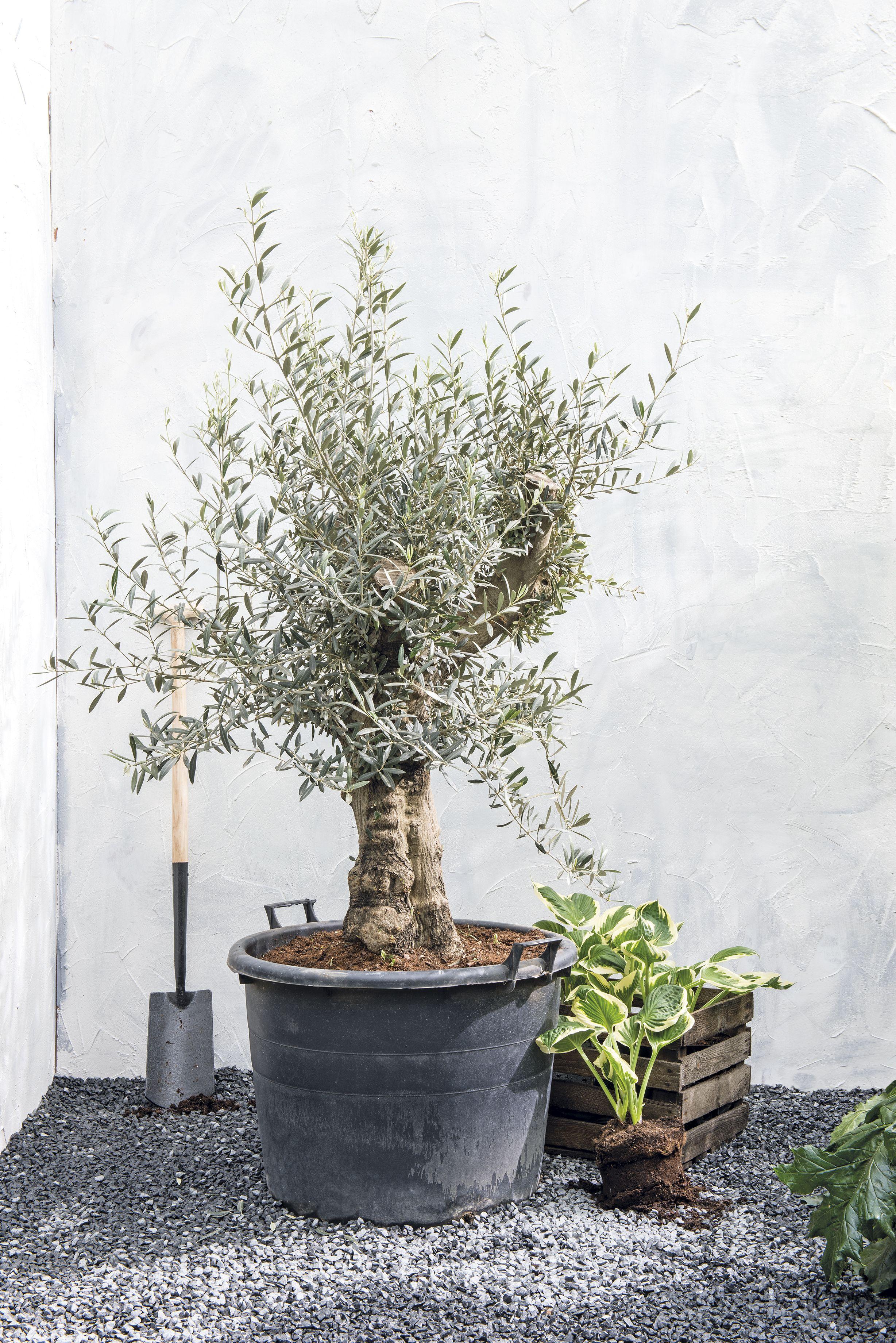 Mooie grote planten in je tuin bij intratuin outside for Tuinontwerp intratuin
