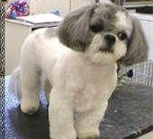 Cute Shih Tzu Puppies - Bing Imágenes