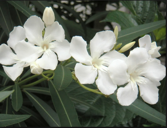White oleander as a tattoo love the meaning behind this flower white oleander as a tattoo love the meaning behind this flower mightylinksfo