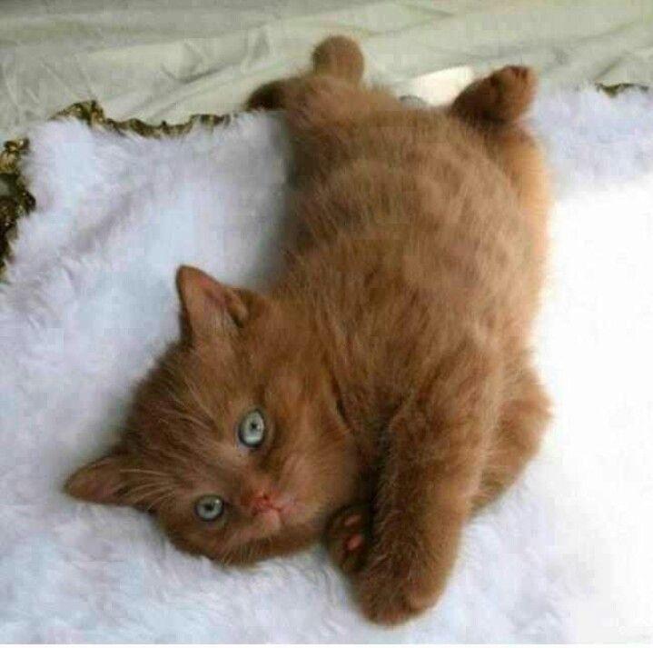 Brown Kitten Blue Eyes Cute Animals Kittens Cutest Animals