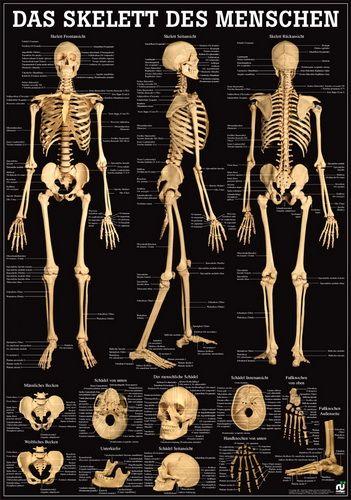 Das Skelett des Menschen, 70 x 100 cm, papier | D * Gesundheit ...