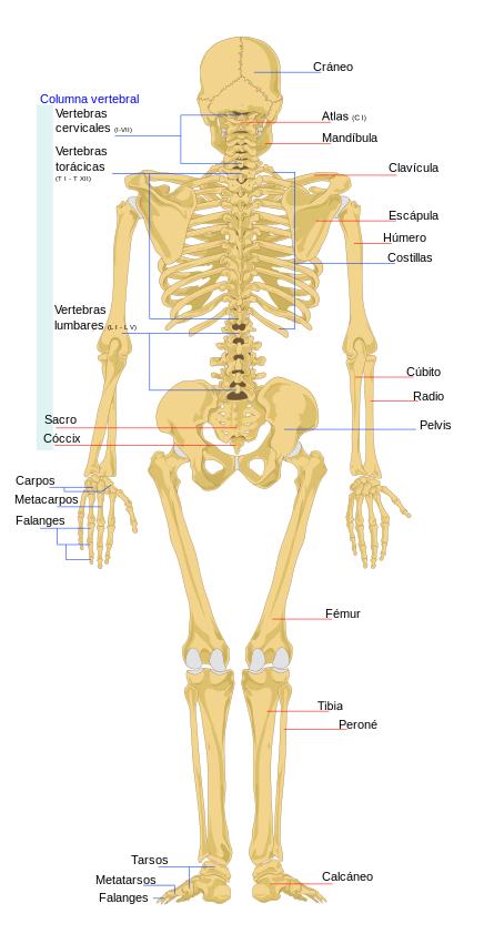 Diagrama del esqueleto humano (vista trasera) las líneas rojas ...