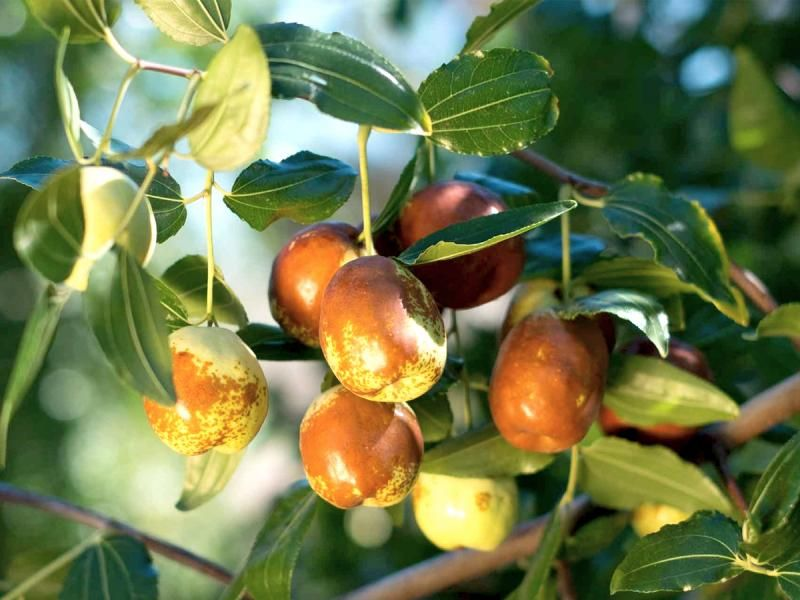 Jujube Likes Hot Summers To Fully Ripen But Even During Cool Summers You Can Pick The Fruits Half Ripe And Finish Ripening Them Jujube Tree Fruit Jujube Fruit