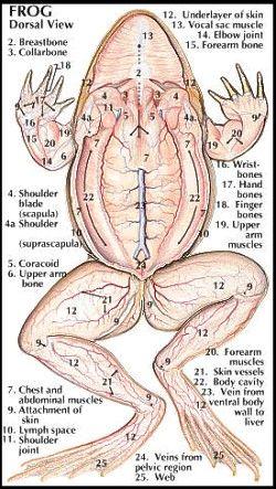 Amphibians Anatomy Animals
