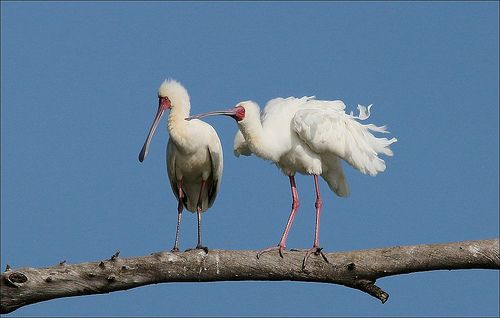 """Lepelaar, African Spoonbill. """"He is not close but ....he  is watching us..."""" Potchefstroom  Sewer Purification Green Drop Farm"""