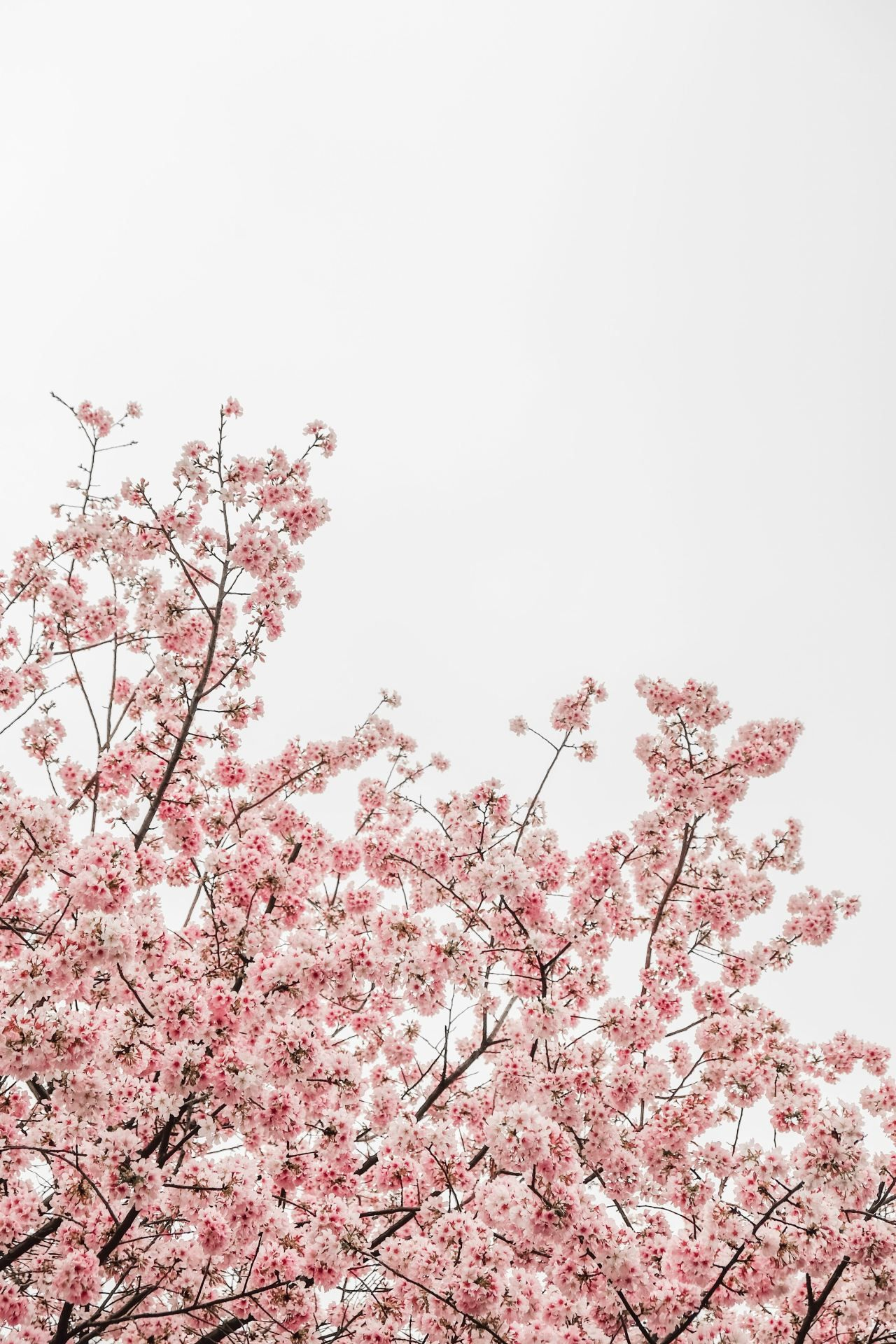 The Best Hair Oils For Natural Hair Tothecurlmarket Blossom Trees Flower Aesthetic Cherry Blossom Pictures