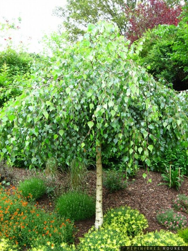 Grafted weeping birch garden for Weeping evergreen trees for small gardens