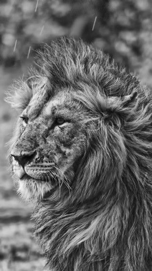 Lion In The Rain The Iphone Wallpapers Lion Noir Et Blanc