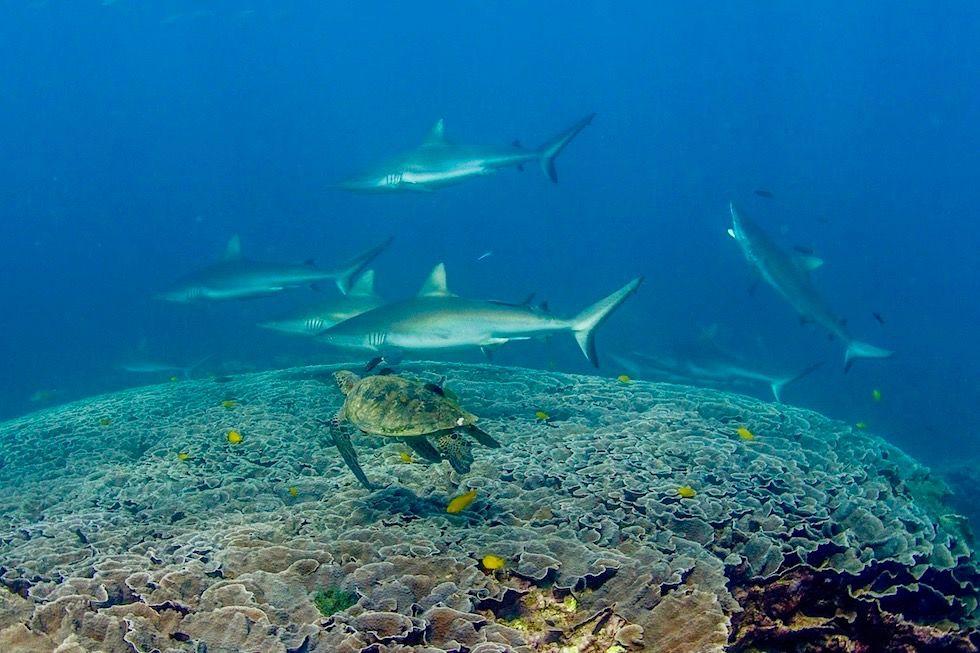 Schnorcheln mit Mantas: Putzerstation für Riffhaie - Gigantischer Korallentisch Ningaloo Riff bei Coral Bay - Western Australia