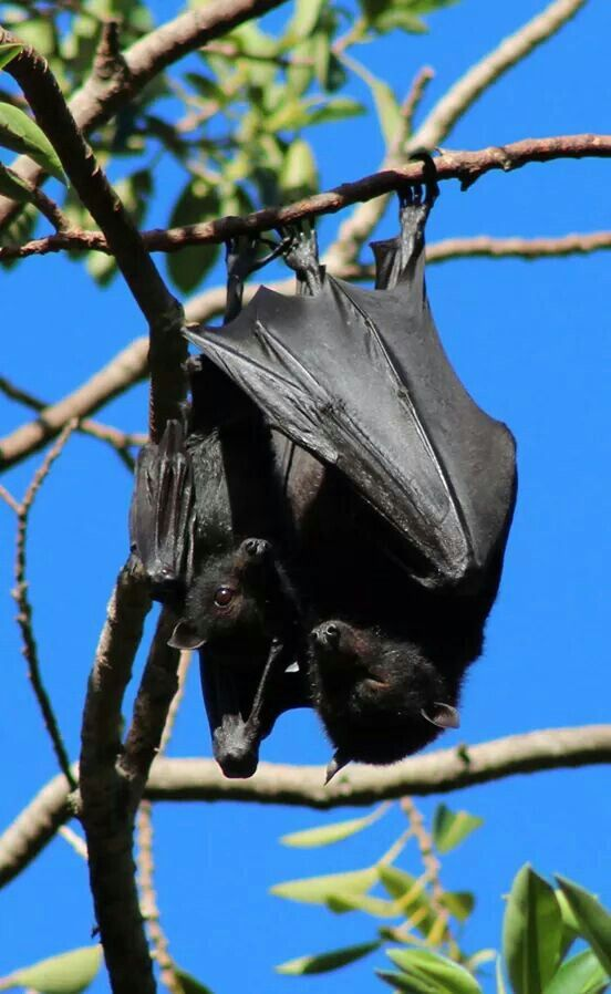 Black flying fox mother and baby