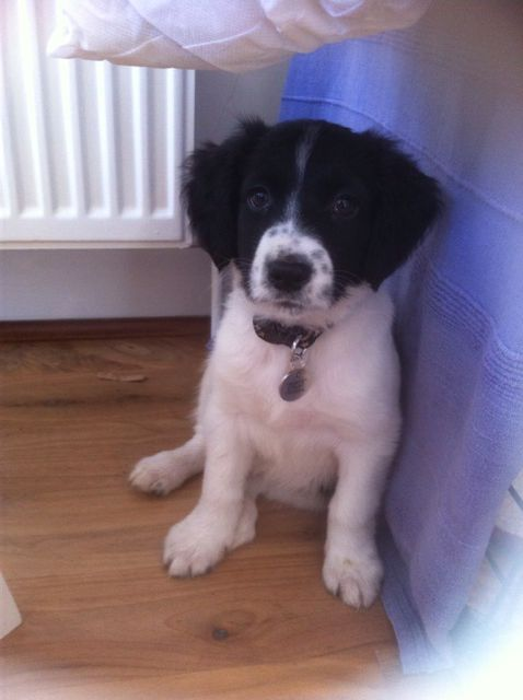 Monty Our Sprollie Pup At 9wks Sprollie Springer Puppies Crazy Dog Lady