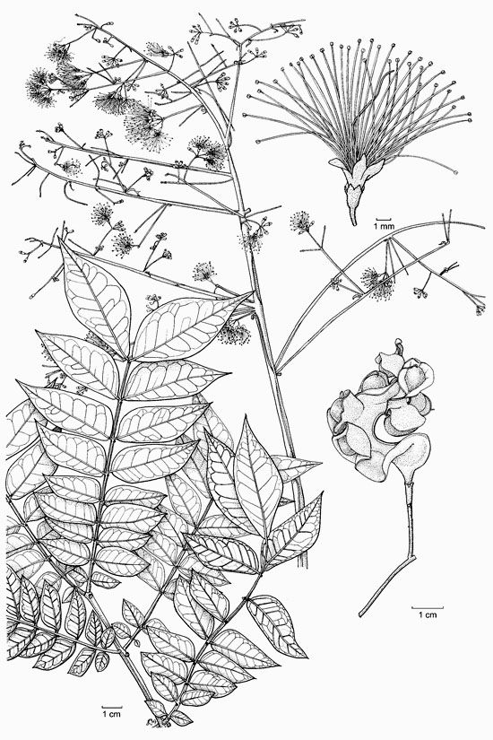 Botanical line drawing tatoo idea...http://www.biotik.org