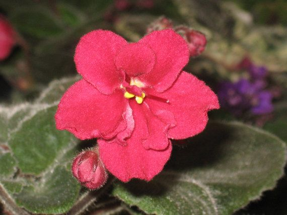 African Violet live plant BUFFALO HUNT red by Shantiyarnandknits, $2.75