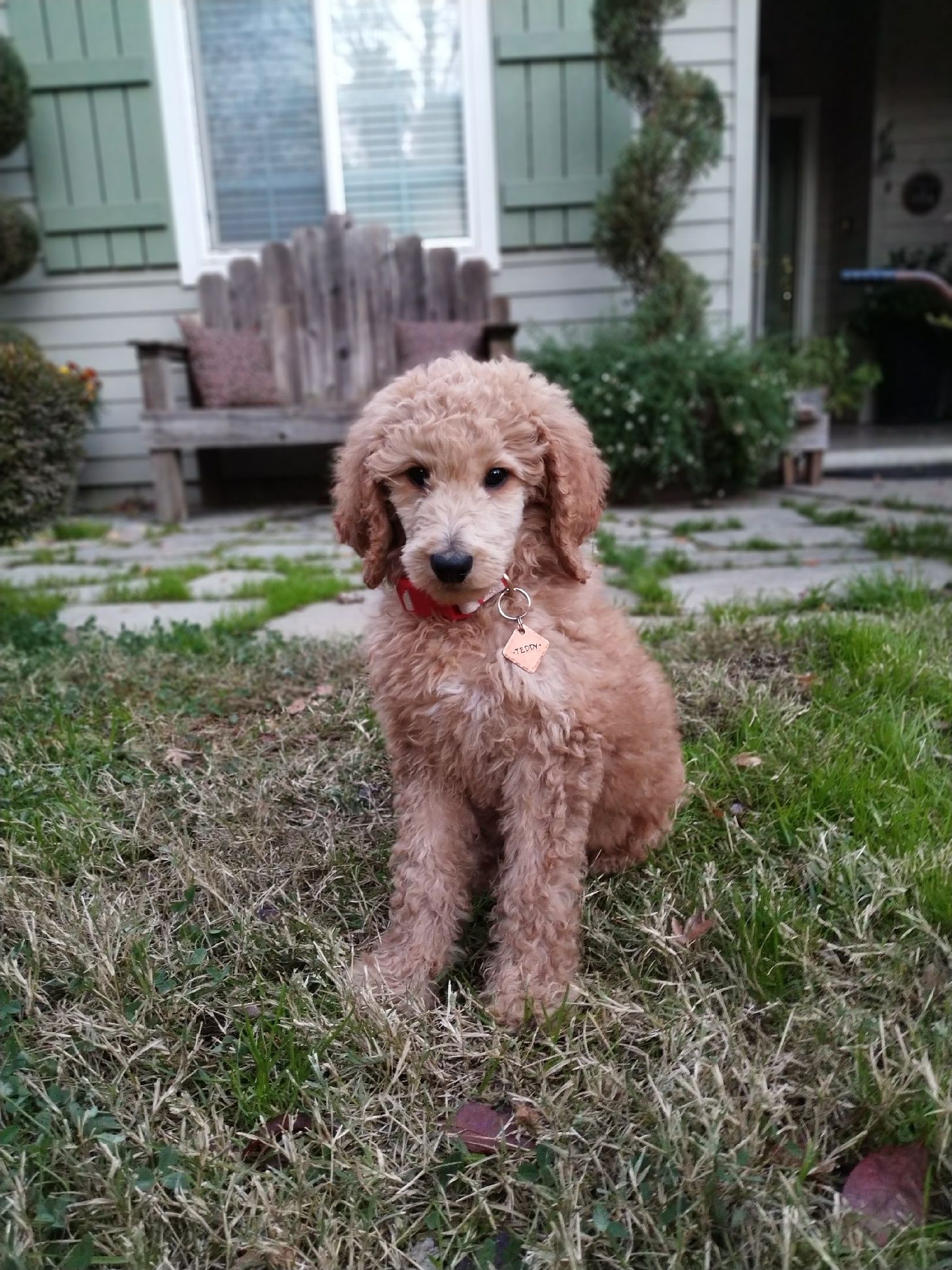 Apricot Standard Poodle 9 10 Weeks Apricot Standard Poodle