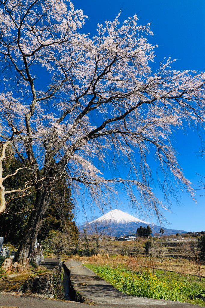 こちらのお寺の枝垂れ桜は上は満開という感じです。下がちょっと寂しいですが。今日はカメラマンがどこも少なく撮り易いですね。pic.twitter.com/Q64ELMpyaL