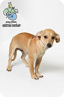 Knoxville Tn Chihuahua Beagle Mix Meet Chimichanga A Puppy For
