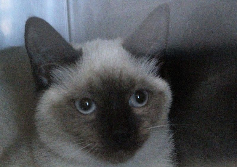 Available For Adoption Angel Is A Female Cat Siamese Located At Edgecombe Pets Animals Adoption