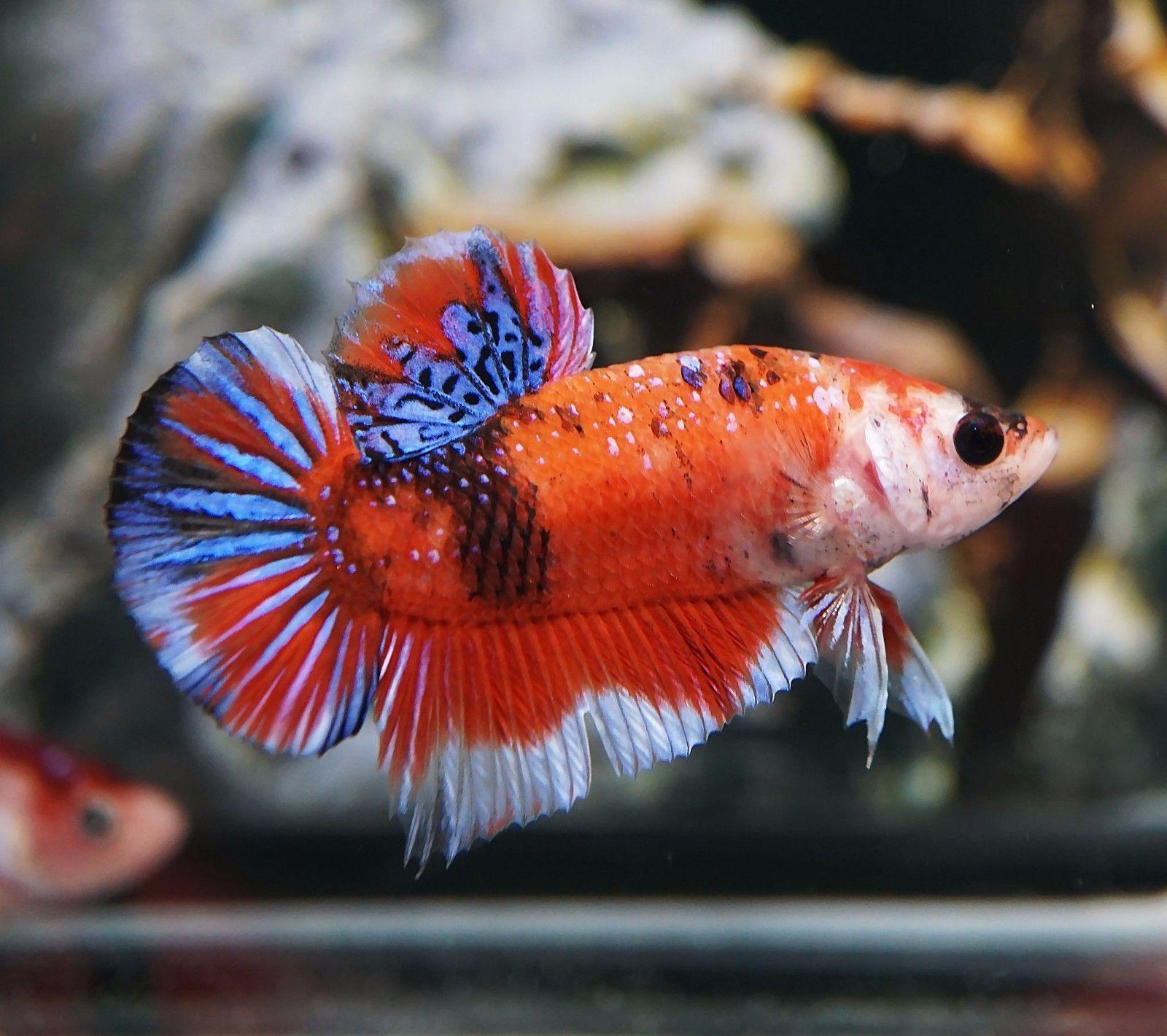 Live Betta Fish Fancy Orange Sakura Blue Galaxy Koi HMPK (Halfmoon ...
