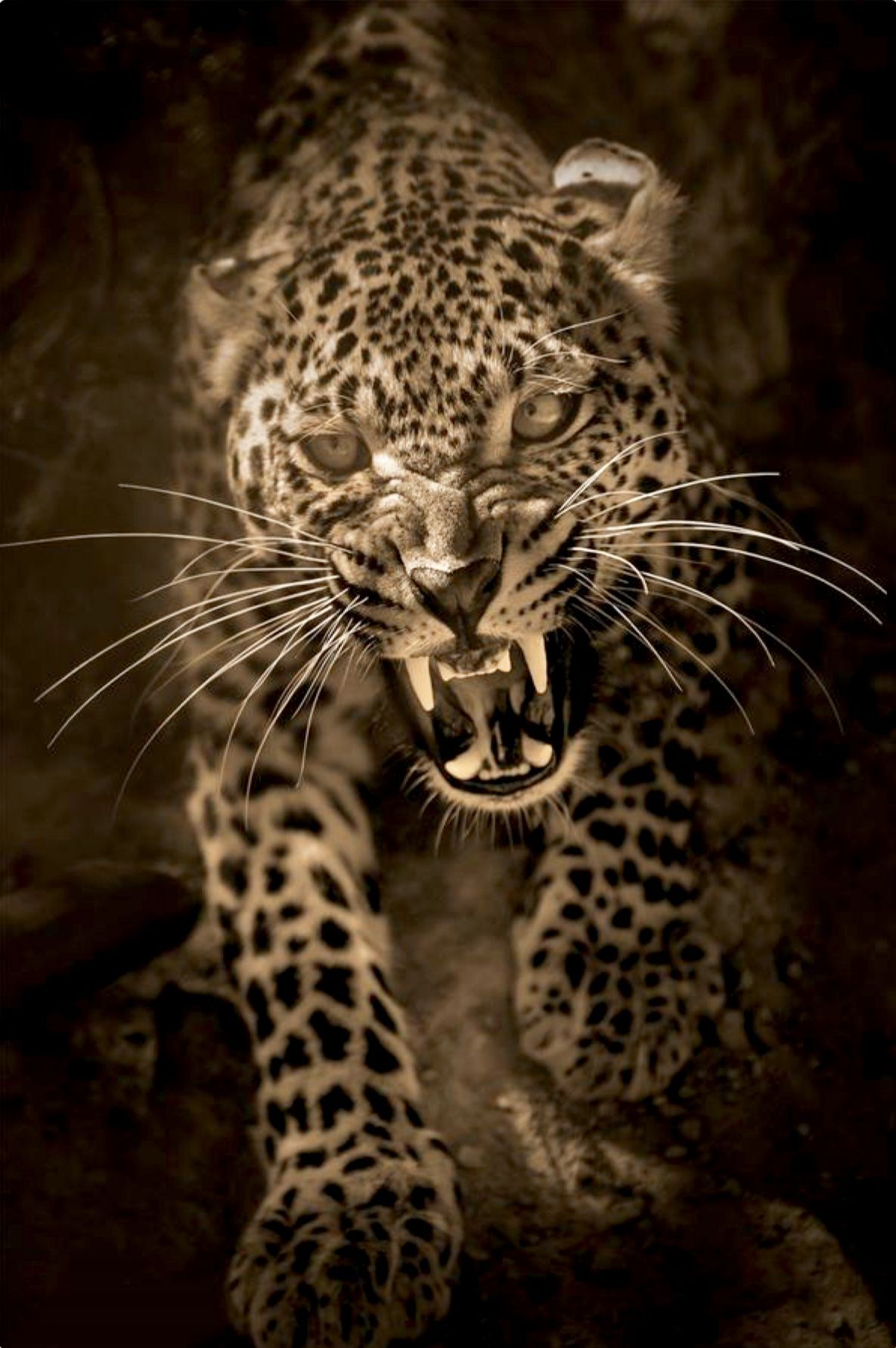 Snarling Leopard Emerging Darkness. Critters